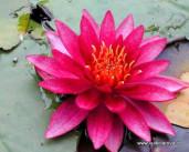 obraz - foto růžového leknínu
